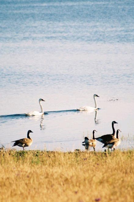 canada geese and swans